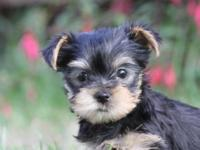 Yorkshire Terrier puppies available Oct 8th. 3 females,