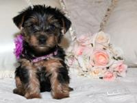 5 adorable Yorkie pups trying to find their permanently