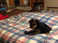 I have one female Yorkie puppy for sale,We are a small