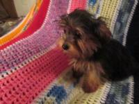 I have male and female Yorkshire puppies 18wks of age,