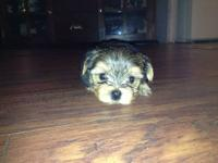 Yorkshire Terrier - Male 8 week old -Blue and Gold - -