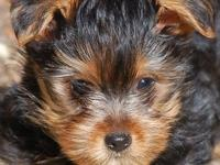 Adorable Yorkshire Terrier puppy ready for her forever