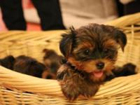 Yorkshire Terrier Puppy (DOB 09/15/2015) ACA