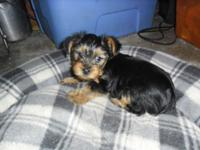 ADORABLE MALE YORKIE PUPPY UTD ON SHOTS AND DEWORMINGS