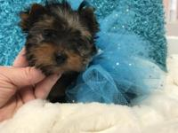 Looking for an extra special yorkie?? She is tiny and
