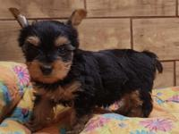 Beautiful male and female yorkie 100% purebred. .