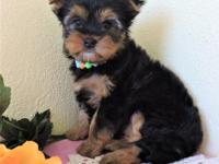 Shantel is a beautiful yorkie with an amazing thick
