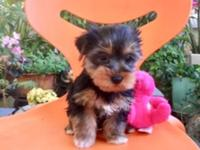 Call or text 714 519 6 657 for more info 9 week Yorkie