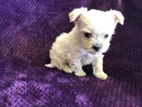 Teacup Yorkie For Sale In South Carolina Classifieds Buy And Sell