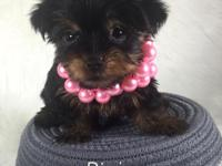 She is a cute little tea Cup yorkie! Her mom is 3 lbs