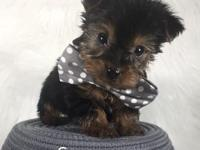 He is a cute little tea Cup yorkie! His mom is 3 lbs