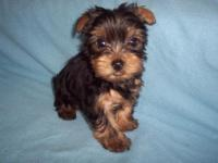 ZUESS 1 IS A LITTLE YORKIE BOY WHO IS APRI REGISTERED.