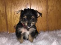 Yorkshire Terriers Puppy Tradional colors 03/06 /2018
