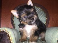 AKC Yorkshire Terriers Puppy Tradional colors 03/06