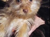 Purebred Yorkie CoCo is a very sweet little Chocolate
