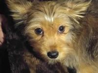 Purebred Yorkie Chance is a very sweet little Sable