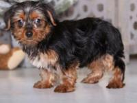 Samson is a super fun ACA Yorkie! He is a great choice