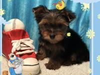 Happy, Healthy, Socialized Little Yorkie!! Current on