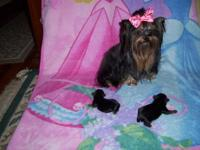 This are gorgeous little male mom is 4lb 1oz. black and