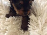 Yorkie male puppy. $400.00. Going on six weeks. Wormed,
