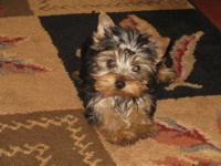 Yorkie puppies. They are AKC registered. These little