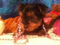 Yorkshire Terrier Puppies ....only females available.