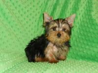 AKC/CKC Registered, 13 weeks old, very small little boy