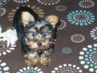 I currently have one female Yorkshire terrier young