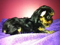3 Yorkshire Terrier Pups available. 2 females and 1