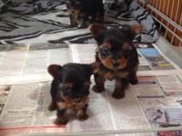 I have 3 gorgeous male Yorkie pups. They are blue and