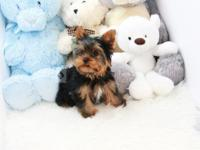 Yorkshire Terrier estimated size: 3 - 4 pounds