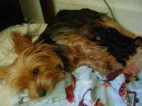 One of our 3 Yorkies gave birth to 3 pups, 2 female and