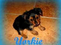 We have home-raised Yorkshire Terrier pups available.