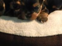 Yorkshire terrier pups 8 wks purebred tiny female 800