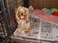 This is DJ, a purebred Yorkshire Terrier. He will be