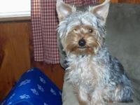We have a beautiful little male yorkie for hire. He is