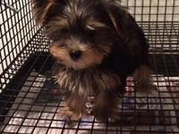 I have an adorable male Teacup Yorkshire Terrier. He is