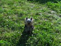 I have an adorable male Yorkshire Terrier puppy up for