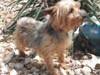Yorkshire Terrier Yorkie - A017129 - Small - Adult -