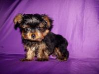 We have 3 AKC Yorkie puppies for sale 2 males and 1