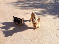 Yorkshire Terrier Yorkie - Ally - Small - Young -
