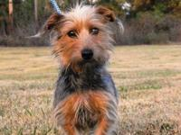 Yorkshire Terrier Yorkie Holly is a 2-3 year old