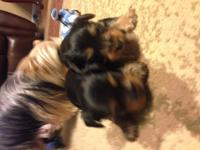 Have 2 full blooded Yorkie  male puppies for sale.