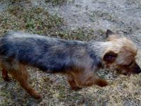 Yorkshire Terrier Yorkie - Angie - Small - Adult -