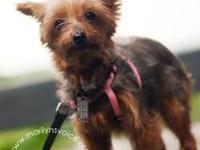 Yorkshire Terrier Yorkie - Annalise - Small - Adult -