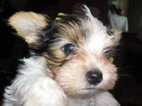 Yorkshire Terrier Yorkie - Bama - Small - Young - Male