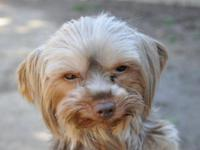 Yorkshire Terrier Yorkie - Bella (must Be Adopted With