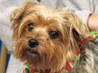 Yorkshire Terrier Yorkie - Bitta - Small - Adult -