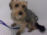 Yorkshire Terrier Yorkie - Brees - Small - Young -
