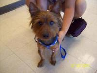 Yorkshire Terrier Yorkie - Buddy - Small - Adult - Male